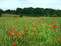Rape and poppies - geograph.org.uk - 1426890.jpg