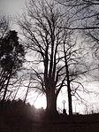 Raspenava - památný Sluneční buk na úpatí Pekelského vrchu (5).JPG