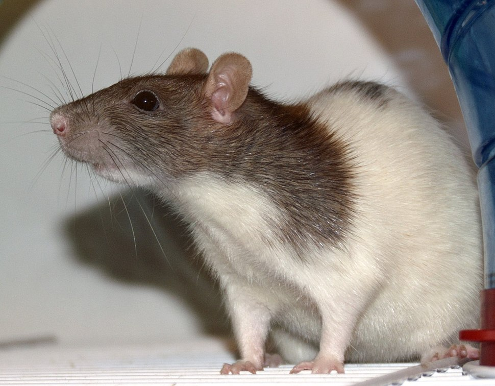An agouti-colored, variegated hooded fancy rat