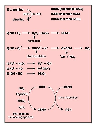Reactive nitrogen species - Image: Reactions leading to generation of Nitric Oxide and Reactive Nitrogen Species