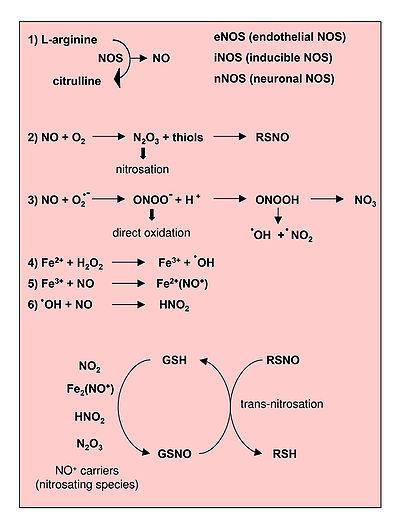Reactions leading to generation of Nitric Oxide and Reactive Nitrogen Species. From Novo and Parola, 2008.[1]