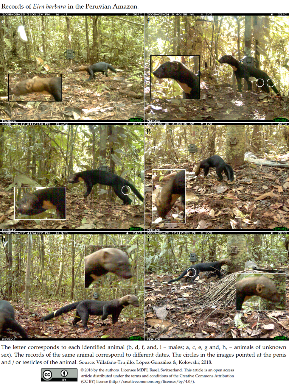 Records of Eira barbara in the Peruvian Amazon. 2 of 2
