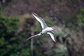 Red-billed Tropicbird in flight (Phaeton aethereus mesonauta).jpg