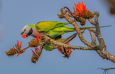 Red-breasted Parakeet মদনা টিয়া।.jpg