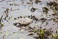 Red-eared pond slider (25306271203).jpg