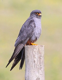 Red-footed Falcon.jpg