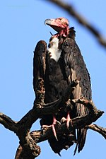 Red-headed Vulture Adult Male Bandhavgrah National Park 16042013.jpg