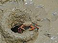 Red-legged Crab (Id ?) near its hole (15664347800).jpg