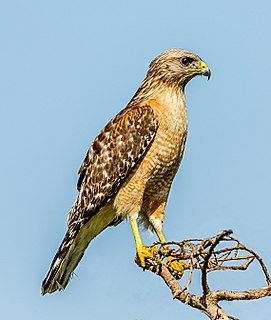 Red-shouldered hawk species of bird