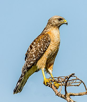 Red-shouldered hawk - Image: Red shouldered Hawk (Buteo lineatus) Blue Cypress Lake, Florida