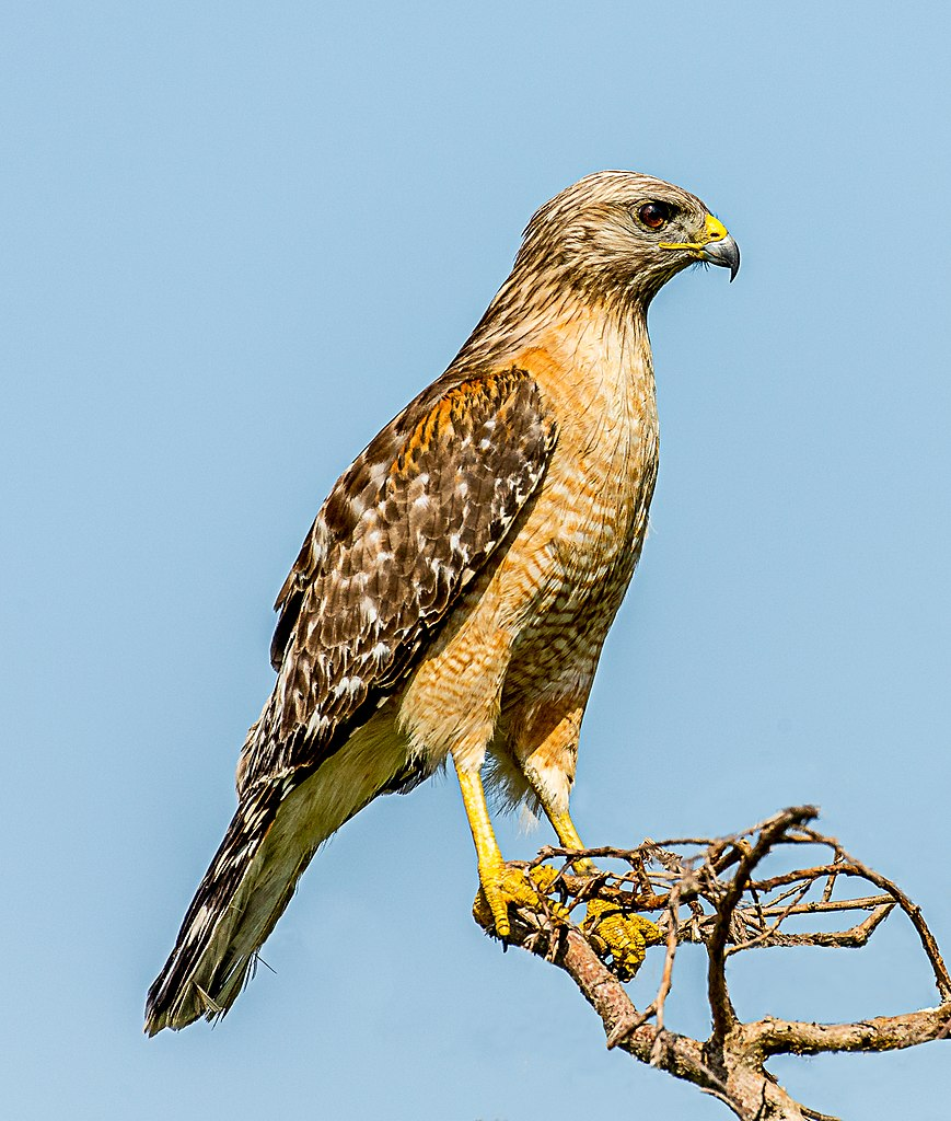 File Red Shouldered Hawk Buteo Lineatus Blue Cypress