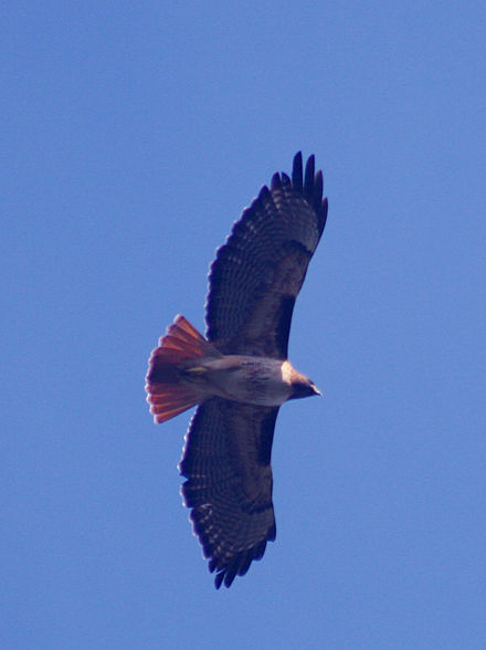 In flight showing the red tail Red-tailed hawk in flight.jpg
