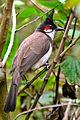 Red-whiskered Bulbul (Pycnonotus jocosus).jpg