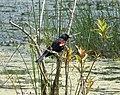 Red-winged Blackbird Agelaius phoeniceus (24000880798).jpg
