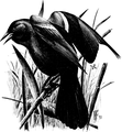 Red - winged Blackbird-Birdcraft-0264-36.png