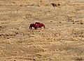Red Crab at Chilika.jpg