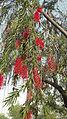 Red Flowers on a tree - Flickr - Swami Stream.jpg