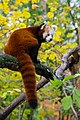 Red Panda (37661544845).jpg