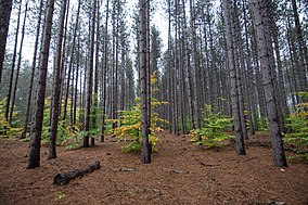 Red Pines in the Manistee National Forest.jpg