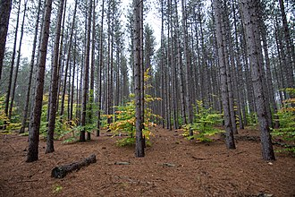 Manistee National Forest - Red Pine plantation in the Manistee National Forest
