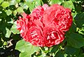 Red Rose flowers 12.jpg