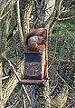 Red Squirrel - geograph.org.uk - 374666.jpg
