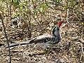 Red billed hornbill Tockus erythrorhynchus in Tanzania 3667 Nevit.jpg