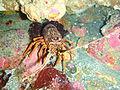 Red lobster, South East Bay, Three Kings Islands PA121435.JPG