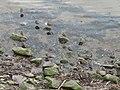 Redshank roost - geograph.org.uk - 149897.jpg
