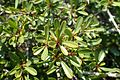 Rhamnus lycioides kz9.jpg