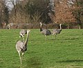 Rheas grazing at Hollybush Farm - geograph.org.uk - 667971.jpg