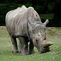 Rhinocéros Thoiry 19803.jpg