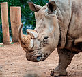 Rhinocero in São Paulo Zoo.jpg