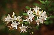Rhododendron Cultivar White Dark 3008px-edit.jpg