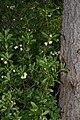 Rhododendron albiflorum 0851.JPG