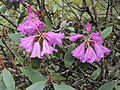 Rhododendron campanulatum flowers AJTJ DSCN6741.jpg