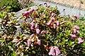 Rhododendron campylogynum kz05.jpg