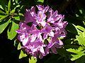 Rhododendron im Botanischen Garten Erlangen.JPG