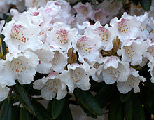 Rhododendron - Wikipedia