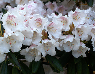 Frank Kingdon-Ward - Rhododendron wardii var. puralbum, a naturally occurring white-flowered variety of the yellow-flowered species named for Frank Kingdon-Ward