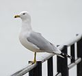 Ring-billed gull (Larus delawarensis) (33299083036).jpg