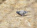 Rock Dove (Columba livia), Gojal, Gilgit-Baltistan, Pakistan (39608320602).jpg