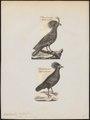 Rollulus roulroul - 1700-1880 - Print - Iconographia Zoologica - Special Collections University of Amsterdam - UBA01 IZ17100273.tif