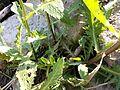 Rorippa amphibia sl6.jpg
