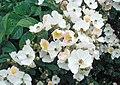 Rosa-multiflora2.jpg