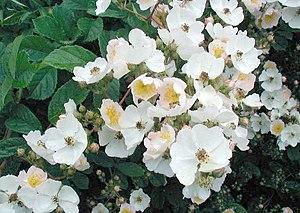 Rosa multiflora - Image: Rosa multiflora 2