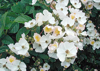 <i>Rosa multiflora</i> Species of flowering plant in the rose family Rosaceae