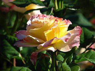 Rosa 'Aquarelle' 01.JPG