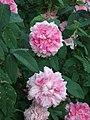Rosa Enfant de France2HELLAN.jpg