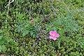 Rosa acicularis (16256471324).jpg